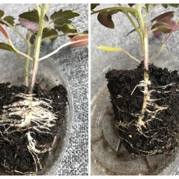 Experiments in Tomato